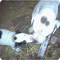 Adopt A Pet :: Momma Bulldog - Wedowee, AL