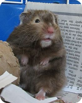 Hamster for adoption in Benbrook, Texas - Cinnamon