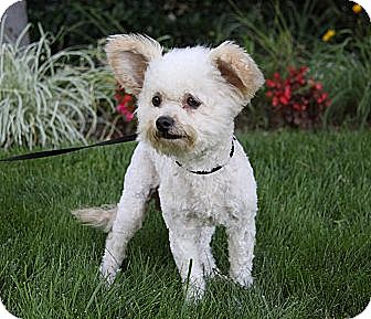 Poodle (Miniature)/Yorkie, Yorkshire Terrier Mix Dog for adoption in Newport Beach, California - HAROLD