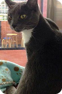 Domestic Shorthair Cat for adoption in Anoka, Minnesota - Mittens