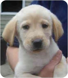Labrador Retriever Mix Puppy for adoption in toledo, Ohio - Hank
