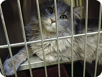 Domestic Longhair Cat for adoption in Fremont, Nebraska - Chevy