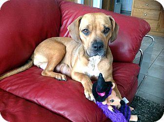 Boxer/Beagle Mix Dog for adoption in Overland Park, Kansas - Miley