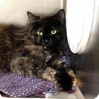 Domestic Longhair Cat for adoption in Las Vegas, Nevada - Cutie Pie