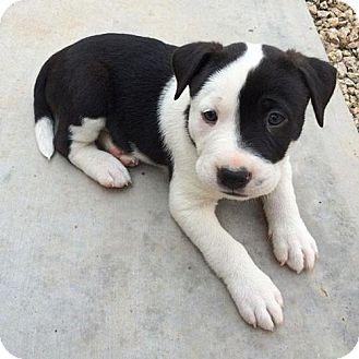 Labrador Retriever/Staffordshire Bull Terrier Mix Puppy for adoption in Phoenix, Arizona - Phillip