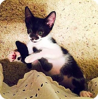 Domestic Shorthair Kitten for adoption in Scottsdale, Arizona - Willy