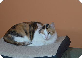 Domestic Shorthair Cat for adoption in Carlisle, Pennsylvania - Bonnie (CP)