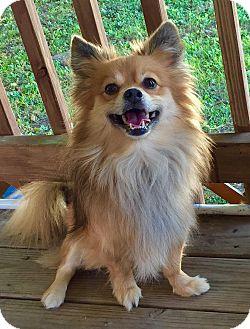 Pomeranian Mix Dog for adoption in Kansas City, Missouri - Jasper