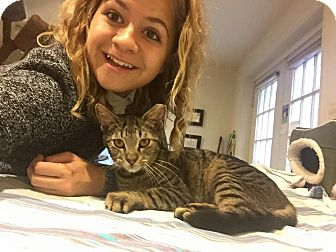 Domestic Shorthair Cat for adoption in Columbia, Maryland - Tiger