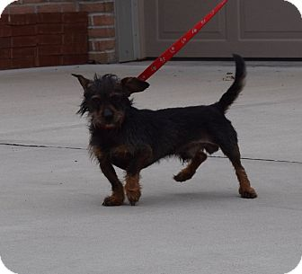 Terrier (Unknown Type, Small) Mix Dog for adoption in Washington, Pennsylvania - Chewy