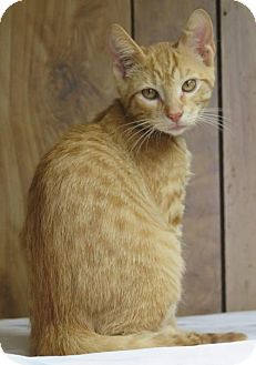 Domestic Shorthair Cat for adoption in Gonzales, Texas - Pender
