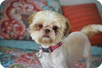 Shih Tzu Mix Dog for adoption in Southington, Connecticut - Rio