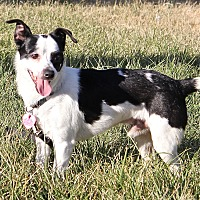 Rat Terrier Mix Dog for adoption in Winters, California - Tony