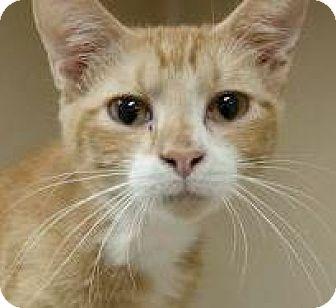 Domestic Mediumhair Kitten for adoption in Lincolnton, North Carolina - Velcro $20