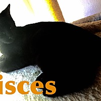Domestic Mediumhair Cat for adoption in Wichita Falls, Texas - Pisces