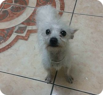 Mixed Breed (Small)/Terrier (Unknown Type, Small) Mix Dog for adoption in Las Vegas, Nevada - Disney