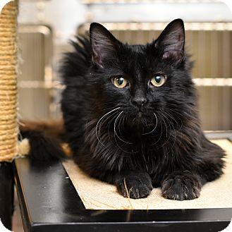 Domestic Mediumhair Cat for adoption in Chicago, Illinois - Cicero