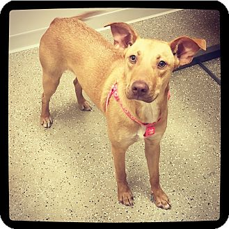 Terrier (Unknown Type, Medium)/Labrador Retriever Mix Dog for adoption in Grand Bay, Alabama - Roxy