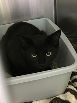 Domestic Shorthair Cat for adoption in Richboro, Pennsylvania - Donatello