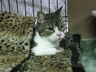 Domestic Shorthair Cat for adoption in San Carlos, California - Thurston Howell III