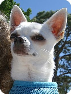 Chihuahua Dog for adoption in Englewood, Florida - Lil Bit