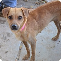 Adopt A Pet :: Bambi - Pahrump, NV