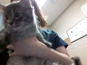 Domestic Mediumhair Kitten for adoption in Edmonton, Alberta - Darling