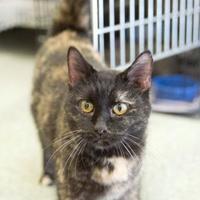 Adopt A Pet :: Kit-Kat - Schererville, IN
