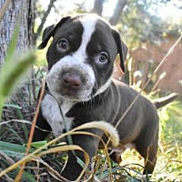 Adopt A Pet :: Baby's Babies - Baby Blue - Fayette, MO