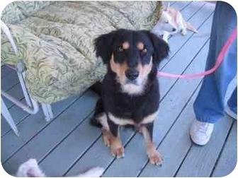 Australian Shepherd Mix Dog for adoption in Overland Park, Kansas - Delilah
