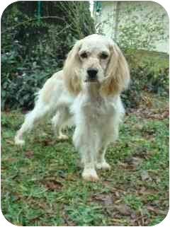 Cocker Spaniel Dog for adoption in Sugarland, Texas - Diesel