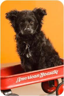Border Collie/Australian Shepherd Mix Puppy for adoption in Portland, Oregon - Shirley