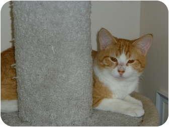 Domestic Shorthair Kitten for adoption in Chandler, Arizona - Hudson