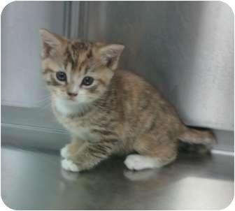 American Shorthair Kitten for adoption in Whitestone, New York - Garbo