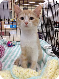 Domestic Shorthair Kitten for adoption in Vero Beach, Florida - Mango