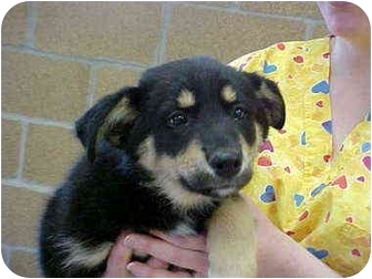 English Shepherd Mix Puppy for adoption in Burnsville, North Carolina - Angel