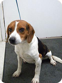 Beagle Dog for adoption in Lancaster, Virginia - Barney