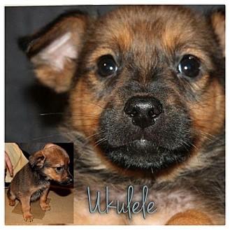 Dachshund/Beagle Mix Puppy for adoption in Garden City, Michigan - Ukelele