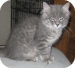 Maine Coon Kitten for adoption in Colorado Springs, Colorado - K-Leonard3-Rodney