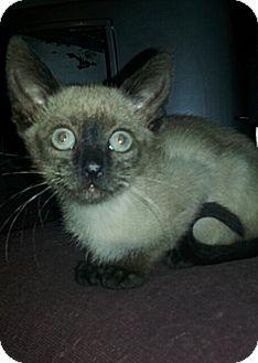 Siamese Kitten for adoption in Tampa, Florida - Marina