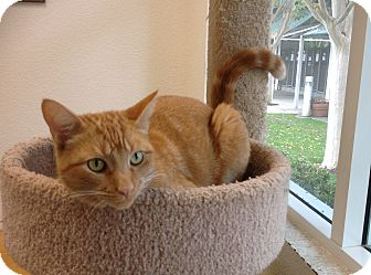Domestic Shorthair Cat for adoption in Mission Viejo, California - Julius