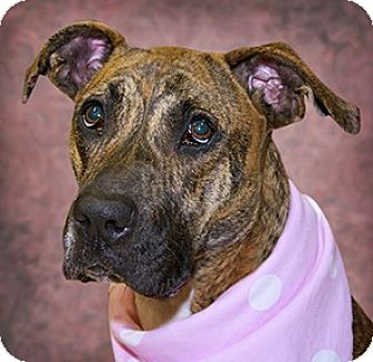 Pit Bull Terrier/Boxer Mix Dog for adoption in Cincinnati, Ohio - Cincy