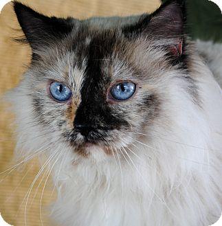 Siamese Cat for adoption in Palmdale, California - Nadia