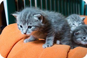 Domestic Mediumhair Kitten for adoption in Seneca, South Carolina - Violet $125