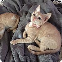 Adopt A Pet :: Tina - Cranford/Rartian, NJ