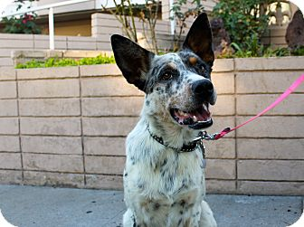 Australian Shepherd/Cattle Dog Mix Dog for adoption in Los Angeles, California - Freckles