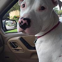 American Bulldog Mix Dog for adoption in Tampa, Florida - Keller & Hope (Bonded Pair)
