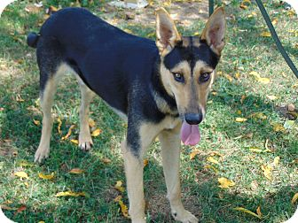 German Shepherd Dog Mix Dog for adoption in Greeneville, Tennessee - Yago