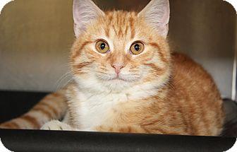 Domestic Shorthair Cat for adoption in Marietta, Ohio - Pumpkin