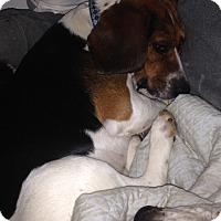 Adopt A Pet :: Duke - Bakersville, NC